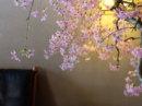 枝垂れ桜も終わり葉桜へ